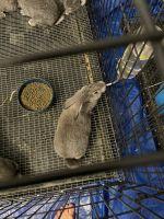 Flemish Giant Rabbits for sale in Ocala, FL, USA. price: NA