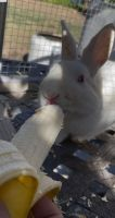 Florida White Rabbits for sale in Chino, CA, USA. price: NA