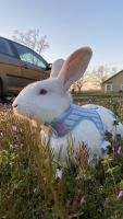 Florida White Rabbits for sale in Stillwater, OK, USA. price: NA