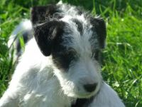 Fox Terrier Puppies for sale in Tampa, FL, USA. price: NA