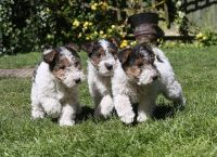 Fox Terrier Puppies for sale in Montgomery, AL, USA. price: NA