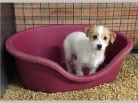 Fox Terrier Puppies for sale in Carlsbad, CA, USA. price: NA