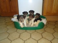 Fox Terrier Puppies for sale in Spokane, WA, USA. price: NA