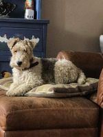 Fox Terrier Puppies for sale in United States. price: NA