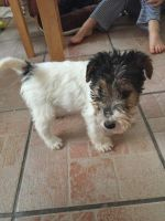 Fox Terrier Puppies for sale in Baton Rouge, LA, USA. price: NA