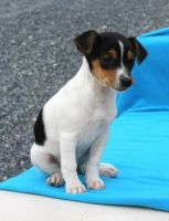 Fox Terrier Puppies for sale in California St, San Francisco, CA, USA. price: NA