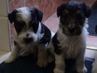 Fox Terrier Puppies for sale in Columbus, OH 43215, USA. price: NA