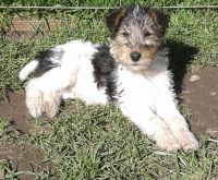 Fox Terrier Puppies for sale in Walnut, CA, USA. price: NA