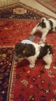Fox Terrier Puppies for sale in Jersey City, NJ, USA. price: NA
