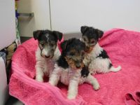 Fox Terrier Puppies for sale in Jacksonville, FL 32256, USA. price: NA