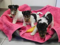 Fox Terrier Puppies for sale in Lawton, OK 73505, USA. price: NA