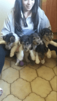 Fox Terrier Puppies for sale in Anderson, IN, USA. price: NA