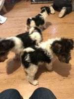 Fox Terrier Puppies for sale in Marysville, WA, USA. price: NA