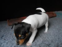 Fox Terrier Puppies for sale in Atlanta, GA, USA. price: NA