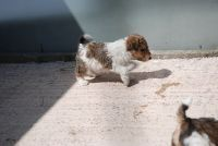 Fox Terrier Puppies for sale in Bountiful, UT 84010, USA. price: NA