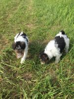 Fox Terrier Puppies for sale in Paris, TX 75461, USA. price: NA