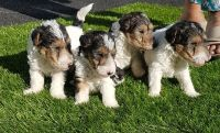 Fox Terrier Puppies for sale in NJ-17, Paramus, NJ 07652, USA. price: NA