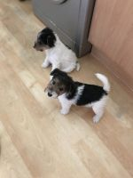 Fox Terrier Puppies for sale in Baltimore, MD, USA. price: NA