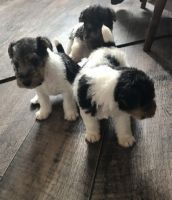 Fox Terrier Puppies for sale in Warrenton Way, Colorado Springs, CO 80922, USA. price: NA