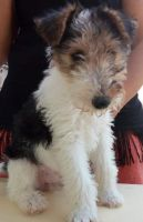 Fox Terrier Puppies for sale in Baltimore, MD 21288, USA. price: NA