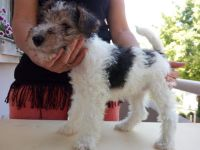 Fox Terrier Puppies for sale in Stockton, CA, USA. price: NA