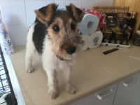Fox Terrier Puppies for sale in Blue Springs, MS 38828, USA. price: NA