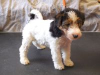 Fox Terrier Puppies for sale in San Francisco, CA, USA. price: NA