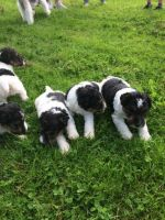Fox Terrier Puppies for sale in Portland, OR, USA. price: NA