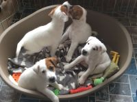 Fox Terrier Puppies for sale in Indianapolis Blvd, Hammond, IN, USA. price: NA