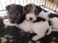 Fox Terrier Puppies for sale in Michigan City, IN, USA. price: NA