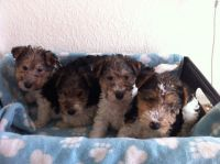 Fox Terrier Puppies for sale in Orlando, FL, USA. price: NA