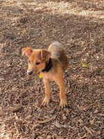 Fox Terrier Puppies Photos