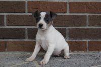 Fox Terrier (Smooth) Puppies Photos