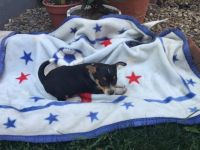 Fox Terrier (Smooth) Puppies for sale in Canton, OH, USA. price: NA