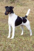 fox terrier smooth dog