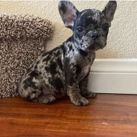 Francais Blanc et Noir Puppies for sale in El Paseo, Palm Desert, CA 92260, USA. price: NA