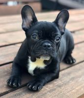Franzuskaya Bolonka Puppies Photos