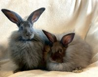 French Angora rabbit Rabbits for sale in Williamsburg, OH, USA. price: NA