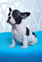 French Brittany Puppies for sale in Dallas, TX, USA. price: NA