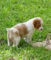 French Brittany Puppies for sale in East Los Angeles, CA, USA. price: NA