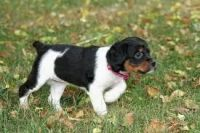 French Brittany Puppies for sale in Atlanta, GA, USA. price: NA