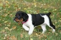 French Brittany Puppies for sale in Los Angeles, CA, USA. price: NA