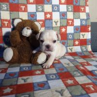 French Brittany Puppies for sale in Canton, OH, USA. price: NA