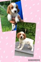 French Brittany Puppies for sale in Blountville, TN 37617, USA. price: NA