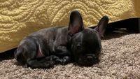 French Bulldog Puppies for sale in Modesto, CA, USA. price: NA