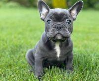 French Bulldog Puppies for sale in Birmingham, AL, USA. price: NA