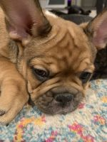 French Bulldog Puppies for sale in Brazos Bend, TX 76048, USA. price: NA