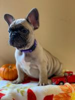 French Bulldog Puppies for sale in Springfield, VA, USA. price: NA