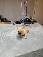 French Bulldog Puppies for sale in Newalla, Oklahoma City, OK 74857, USA. price: NA