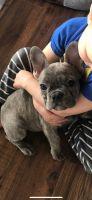 French Bulldog Puppies for sale in Prescott, AZ, USA. price: NA